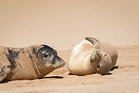 Hawaiian monk seals, Neomonachus schauinslandi, Critically Endangered endemic species, adult (left) and juvenile (right) on beach at west end of Molokai, USA, Pacific Ocean
