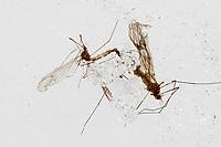 Wintermücke, Winterschnacke, Trichocera hiemalis, Trichocera hyemalis, winter turnip gnat, winter midge, Trichocère hivernale, Wintermücken, Trichoceridae