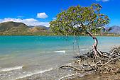 Palétuviers dans la baie Inaccessible, presqu'île de Uitoé, Nouvelle-Calédonie