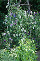 Lathyrus latifolius (perennial sweet pea) and Nicotiana alata 'Lime Green', late July.