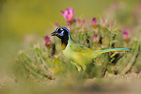 Green Jay (Cyanocorax yncas), adult among Strawberry Hedgehog Cactus (Echinocereus enneacanthus), Laredo, Webb County, South Texas, USA