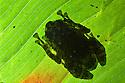 Rot-hole tree frog {Platypelis grandis}. Tropical rainforest, Andasibe-Mantadia National Park, Eastern Madagascar.