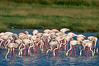 Greater Flamingos (Phoenicopterus roseus) Serengeti National Park, Tanzania.