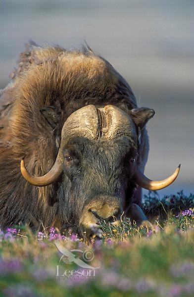 Muskox bull (Ovibos moscchatus) amid summer tundra flowers in Arctic National Wildlife Refuge, Alaska, U.S.A.