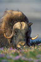 Muskox bull (Ovibos moscchatus) amid summer tundra flowers in Arctic National Wildlife Refuge, Alaska, U.S.A.