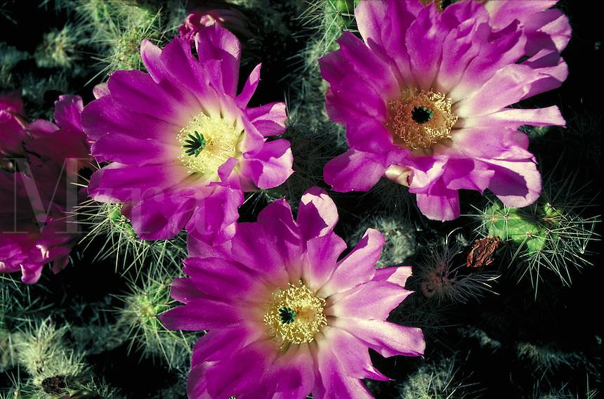 Echinocerus cactus with bright pink flowers. flower, drought tolerant, desert, plant, botany, landscape, succulent. California, Berkeley Botanical Garden.