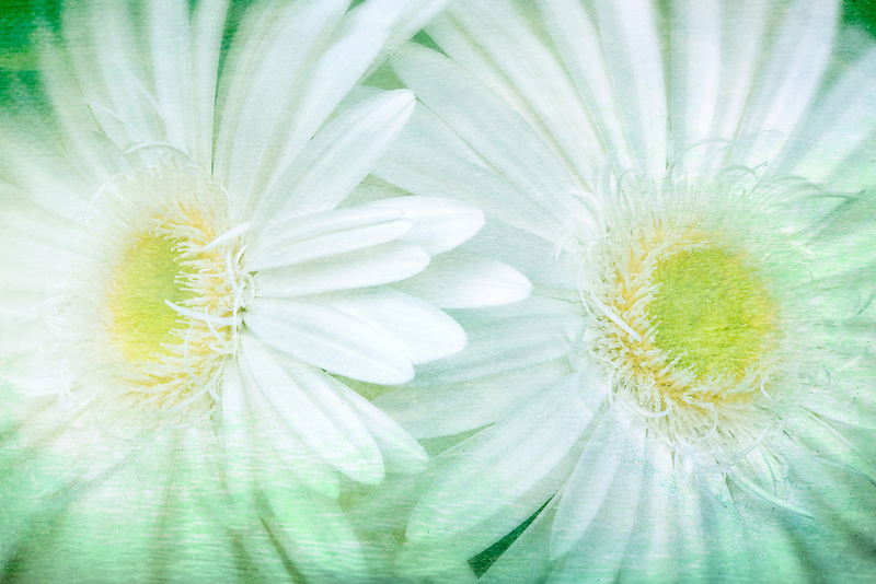 Close up of White Gerbera Daisy Sumurai.