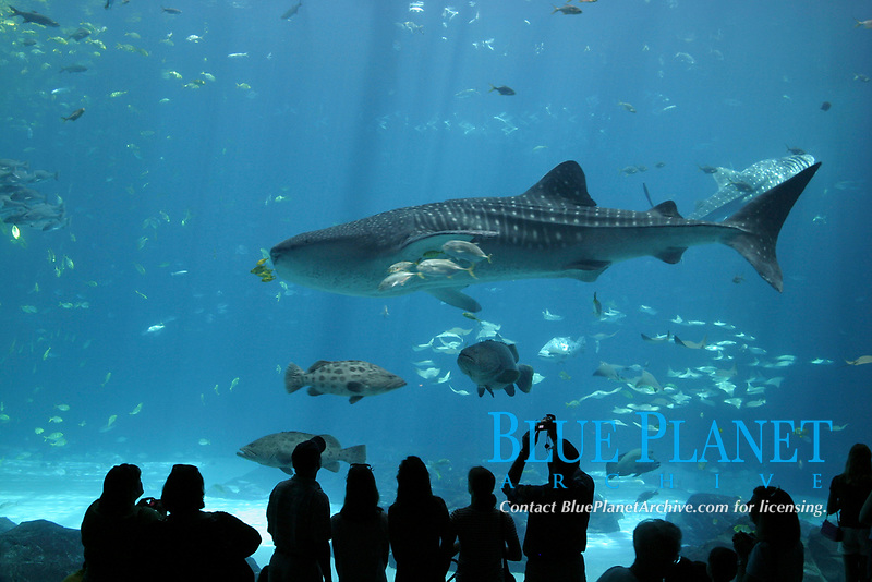 Visitors view whale shark, Rhincodon typus, fish and many other marine species in the Ocean Voyager Tank at the Georgia Aquarium, Atlanta, Georgia, USA
