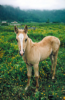 tan colored colt with white markings on head posing in a green pasture. California.