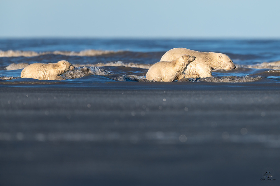 Mother Polar Bear (Ursus maritimus) and her two cubs finish their swim across the bay. Mom chose a channel of relatively open water, between the heavy waves and the more solid ice. At this point they were wading through slush. Looked exhausting, but the cubs were playing around about an hour later while mom napped.