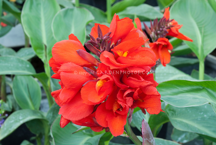 Canna Tropical Red flowers, Takii Tropical series