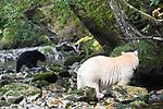 Adult spirit bear or Kermode bear (Ursus americanus kermodei)(pale/white morph of an North American black bear) watching a black morph. Along Gwaa stream, Gribbell Island, Great Bear Rainforest, British Columbia, Canada. September 2018.