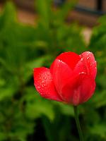 Tulpe in Vorgarten Curschmannstraße in Hamburg-Hoheluft-Ost, Deutschland, Europa<br /> Tulip in front garden, Curschmann St. in Hamburg-Hoheluft-Ost, Germany, Europe