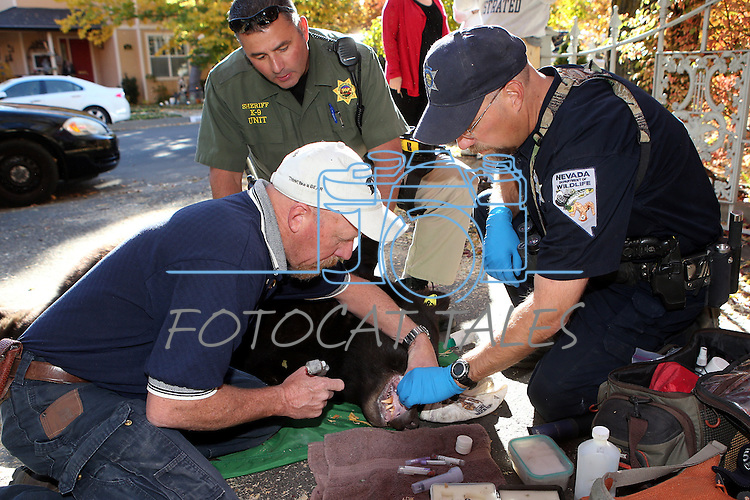 From left, Nevada Department of Wildlife black bear biologist Carl Lackey, Carson City Sheriff's Deputy Dan Ochsenschlager and NDOW Game Warden Jake Kreamer process an adult male bear caught in a Carson City backyard on Wednesday, Oct. 23, 2013.<br /> (Cathleen Allison/Las Vegas Review-Journal)