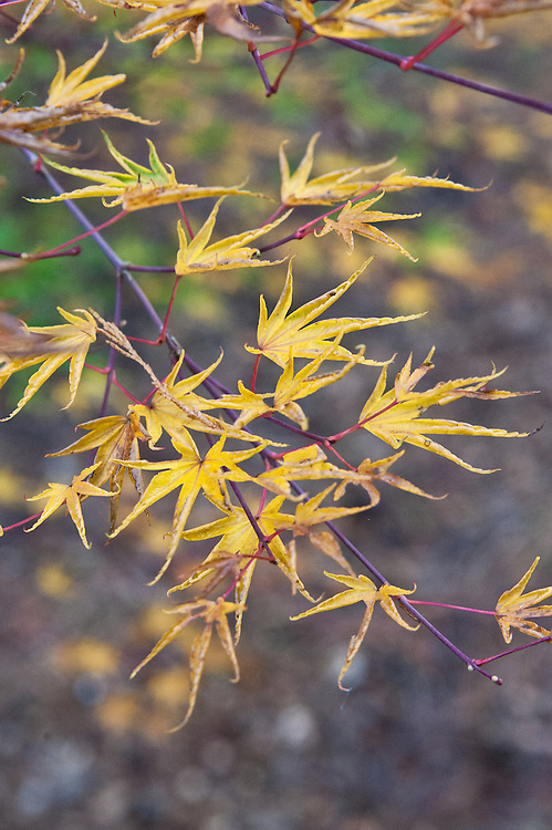 Acer palmatum 'Okushimo', early November. An 18th-century Japanese maple with distinctive curled, crinkled leaves and a name that means salt and pepper.