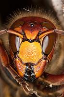 Hornisse, Portrait, Vespa crabro, hornet, brown hornet, European hornet