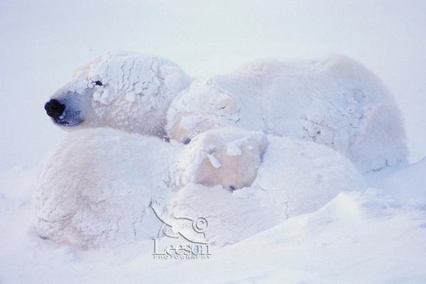 Polar bear mother with cubs after snowstorm. Canadian Arctic.  November.