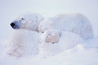 Polar bear mother with cubs after snowstorm. Canadian Arctic.  November.