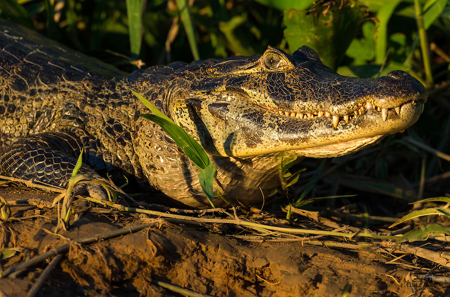 Large Yacaré Caiman (Caiman yacare) approaches the river bank in evening light.  The Pantanal, Brazil.