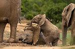 Elephant calf joins in with mud bath by Peter Haygarth