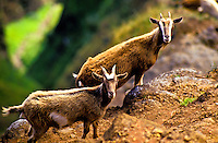 Feral goats in Kalalau Valley, Na Pali Coast State Park.