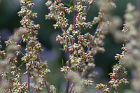 Beifuß, Gewöhnlicher Beifuß, Beifuss, Blüten, Blüte, blühend, Artemisia vulgaris, Mugwort, common wormwood, wild wormwood, wormwood, L'Armoise commune, L'Armoise citronnelle