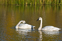 A pair of Trumpeter swan swim in a small tundra pond along the George Parks Highway in Interior, Alaska.