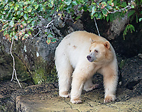A spirit bear wanders the rocky shores of the Great Bear Rainforest in search of food.