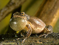 FR16-060z  Spring Peeper Tree Frog - croaking, calling  mate, note extended vocal sac -  Pseudacris crucifer, formerly Hyla crucifer