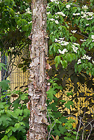 Betula nigra river birch tree bark with Cornus