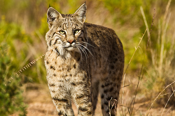 This is one of the most beautiful Bobcats I've ever seen! Bobcats are intriguing animals. This one was literally 4-5 ft from my camera and showed no sign of fear. He or she looked straight into my camera and all the time his tail was inquisitively curling back and forth.
