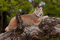 Siberian Lynx lying on top of an old log