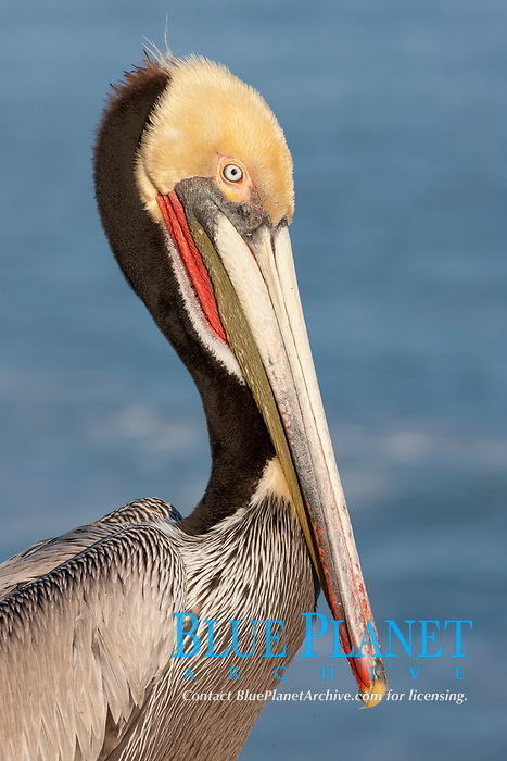 Portrait of California brown pelican, with the characteristic winter mating plumage shown: red throat, yellow head and dark brown hindneck.