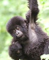 Young Mountain Gorilla hanging on a branch in the hills of the Virunga Mountains, Parc National Des Volcans, Rwanda