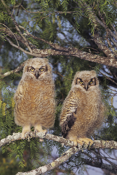 Great Horned Owl (Bubo virginianus), young fledlings, Starr County, Rio Grande Valley, Texas, USA