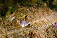 Winter flounder, Pseudopleuronectes americanus, Atlantic, USA, Maine, Flounders are compressed bottom-dwelling fishes with both eyes on the same side of their head. Fish