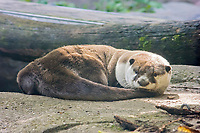 African clawless otter (Aonyx capensis), also known as the Cape clawless otter or groot otter