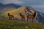 It's almost July before these cow elk migrate up to the high alpine tundra, about 12,000 ft).<br /> John provides insight into both wildlife photography and behavior. He has a B.S. in zoology from nearby Colorado State University and a M.S. from Washington State University.