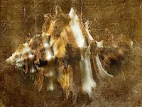 Close up of Murex Endiva Long Spine sea shell.