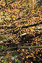 Autumn foliage of Transitoria crab apple (Malus transitoria), early November.