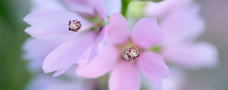 Close up of Checker Mallow (Sidalcea organa). Graham Oaks Nature Parks. Oregon