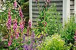 Josiah Dennis Manse house garden.Digitalis
