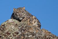 Snow Leopard lying on a rocky point - CA