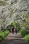 United Kingdom, England, Greater London, Kew: district in the London Borough of Richmond upon Thames - Path through blossom trees at Royal Botanic Gardens, UNESCO World Heritage Site | Grossbritannien, England, Kew: Stadtteil Londons im Stadtbezirk London Borough of Richmond upon Thames - Obstbaumbluete im Royal Botanic Gardens, inzwischen UNESCO Weltkulturerbe