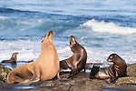 La Jolla, California; a female California sea lion with a light tan, furry, dry coat and three juvenile pups, resting on the rocky shoreline along the Pacific Ocean, in early morning sunlight