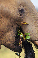 African elephant (Loxodonta africana) eating.  Matusadona National Park, Zimbabwe.  See also photo # 3ME1143.