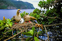 red-footed booby, Sula sula, pair with chick, and crab, Johngarthia cocoensis, trying to crawl into their nest to scanvenge, Cocos Island, Costa Rica, Pacific Ocean