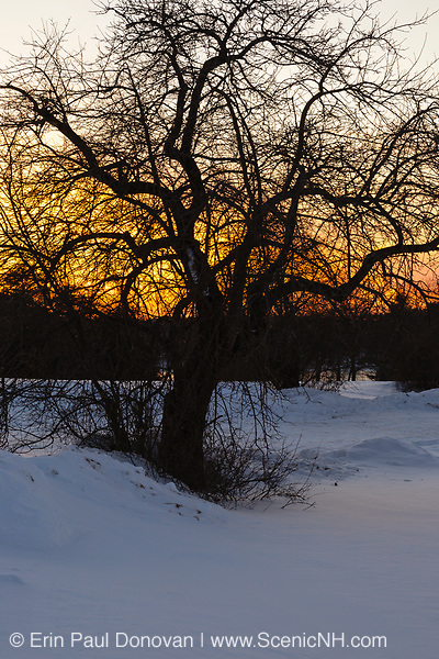The silhouette of a tree at Wagon Hill Farm in Durham, New Hampshire at sunset during the winter months.