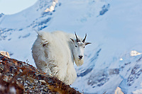 Mountain Goat billy (Oreamnos americanus).  Northern Rockies.  October.