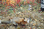 Red fox plays with a dead robin, Minnesota, USA